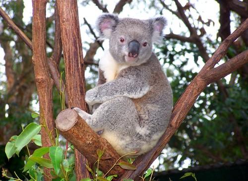 コアラのふわふわの毛が灰色なのはなぜ?
